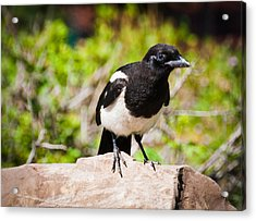 Acrylic Print featuring the photograph Mr. Magpie by Cheryl Baxter