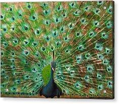 Mr. Peacock Acrylic Print by Sherry Robinson