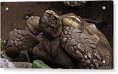 Mr. Tortoise Acrylic Print by Dorothy Hilde