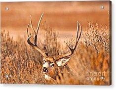 Mule Deer Buck Closeup Acrylic Print by Earl Nelson