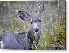 Acrylic Print featuring the photograph Mule Deer On Fall River by Nava Thompson