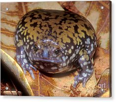 Mullers Termite Frog Acrylic Print by Dante Fenolio