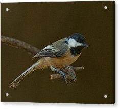 Multicolored Chickadee Acrylic Print by Don Wolf