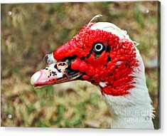 Muscovy Duck 2 Acrylic Print by Kaye Menner