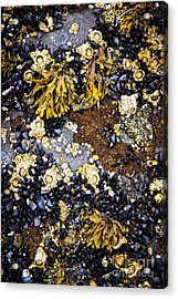 Mussels And Barnacles At Low Tide Acrylic Print by Elena Elisseeva
