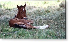 Mustang Filly Acrylic Print by Elizabeth Hart
