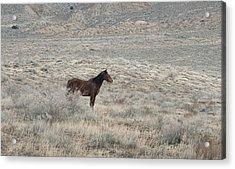 Mustang Acrylic Print