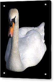 Mute Swan At Night Acrylic Print by Lynne Dymond