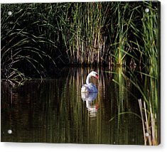 Mute Swan Acrylic Print by Jim Nelson