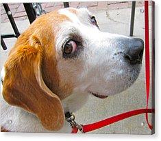 My Beagle Friend Acrylic Print by Kathryn Barry