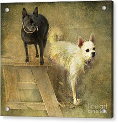 Acrylic Print featuring the digital art My Chihuahua Girlz  by Rhonda Strickland