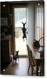 My Dog Can Fly Or Levitating Dog Acrylic Print