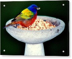 My Painted Bunting Acrylic Print by Karen Wiles