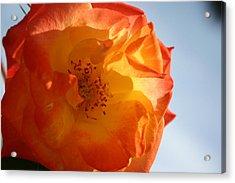 My Yellow Orange Rose Acrylic Print by Connie Koehler