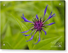 Mystery Wildflower 1 Acrylic Print by Sean Griffin