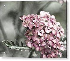 Mystic Yarrow Acrylic Print