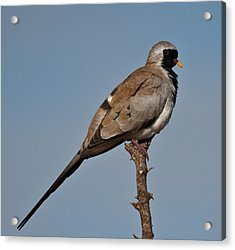 Namaqua Dove Acrylic Print by Annette Naude