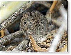Namaqua Rock Mouse Acrylic Print by Peter Chadwick