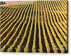 Napa Valley Vineyard . 7d9061 Acrylic Print by Wingsdomain Art and Photography