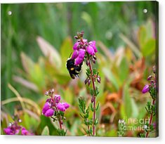 Nectar Quest Acrylic Print by Gayle Swigart