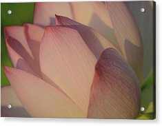 Acrylic Print featuring the photograph Nelumbo 'red Scarf' by Perla Copernik