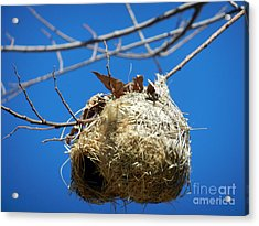 Nest For Rent Acrylic Print by Alexandra Jordankova