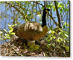 Nesting Canada Goose In The Heat Of The Day - C0567c Acrylic Print by Paul Lyndon Phillips