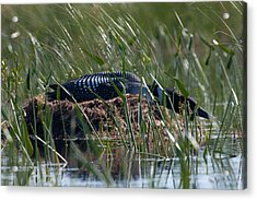 Acrylic Print featuring the photograph Nesting Loon by Brent L Ander