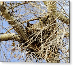Acrylic Print featuring the photograph Nesting Owl  by Stephen  Johnson