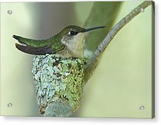 Nesting Ruby-throated Acrylic Print