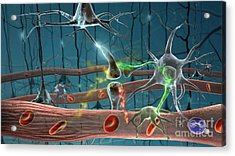 Neurons Acrylic Print by Science Source