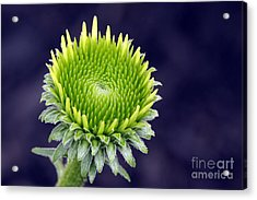 Acrylic Print featuring the photograph New Daisy by Denise Pohl