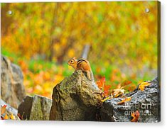 New Hampshire Chipmunk Acrylic Print by Catherine Reusch Daley