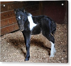 New Life Miniature Pony Acrylic Print by Jai Johnson