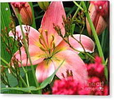 New Lily 2012 Acrylic Print by Judyann Matthews