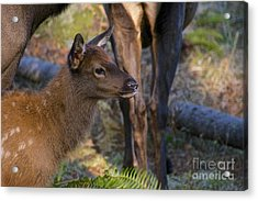 Newborn Elk Acrylic Print by Sean Griffin