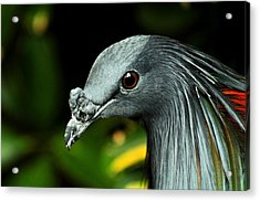 Nicobar Pigeon Acrylic Print by Puzzles Shum