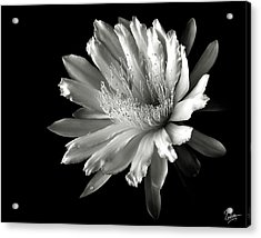 Night Blooming Cereus In Black And White Acrylic Print