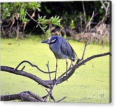 Night-heron Acrylic Print by Al Powell Photography USA