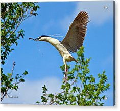 Night Heron Building Nest Acrylic Print