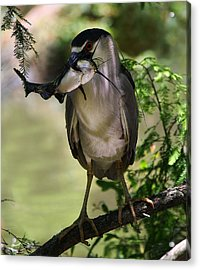 Night Heron With His Catch Acrylic Print by Paulette Thomas