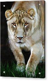 Nikita Acrylic Print by Big Cat Rescue