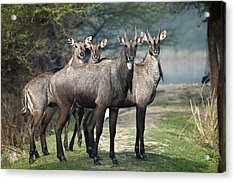 Nilgai Acrylic Print by Photography by Masood Hussain