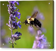 Non Stop Flight To Pollination Acrylic Print