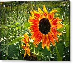 Noontime Sunflowers Acrylic Print by Jiayin Ma