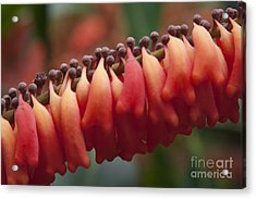 Norantea Guianensis - Red Hot Poker - Tropical Flowers Of Hawaii Acrylic Print