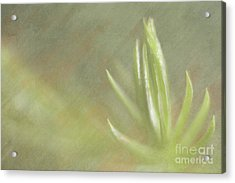 Norfolk Pine Tip Acrylic Print