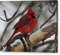Northern Cardinal In Snowstorm Acrylic Print