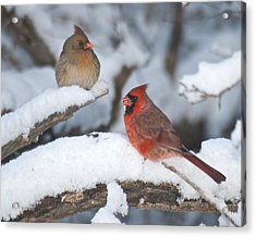 Northern Cardinal Pair 4284 2 Acrylic Print by Michael Peychich