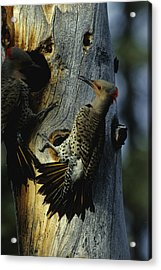 Northern Flickers Fight Over Nesting Acrylic Print
